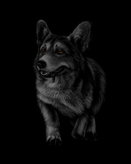 Portrait de welsh corgi sur fond noir. illustration