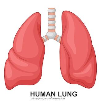 Poumons humains respiratoires