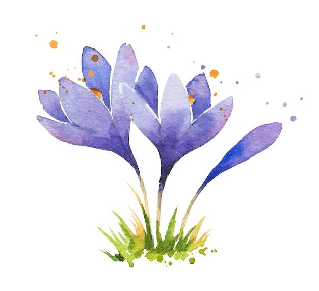 Premiers crocus aquarelles de fleurs de printemps isolés sur blanc