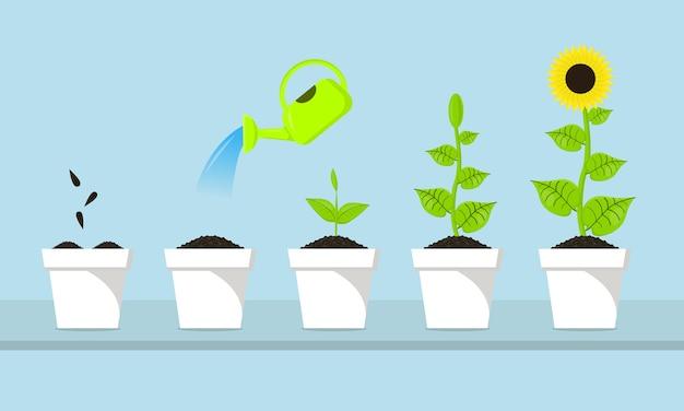 Le processus de croissance du tournesol