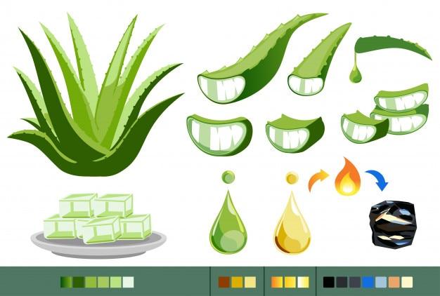 Propriétés de l'aloe vera. traitement des plantes médicinales.