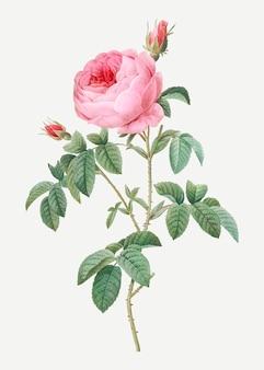 Provence rose en fleurs