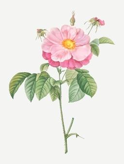 Provins mouchetés rose