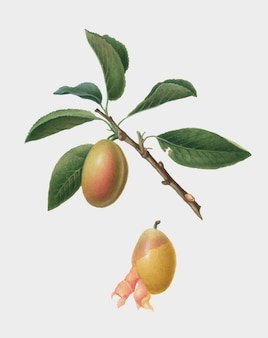Prune arménienne d'illustration de pomona italiana