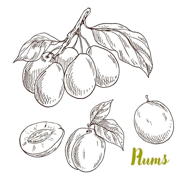 Prunes dessinées à la main, branche avec des feuilles