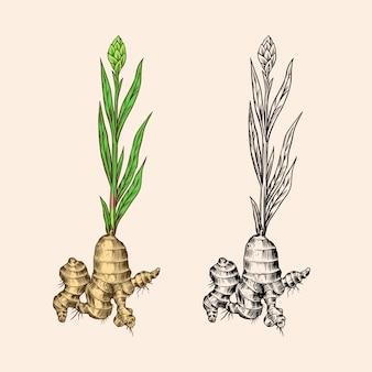 Racine de gingembre, rhizome haché, plante fraîche.