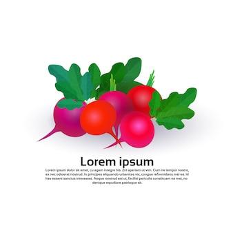 Radis sur fond blanc, mode de vie sain ou concept de régime alimentaire, logo pour les légumes frais