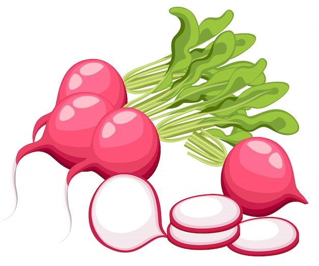 Radis - illustration de radis sur fond blanc style dessin animé frais page de site web de légumes différents et conception d'application mobile.