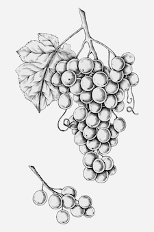 Raisins frais dessinés à la main