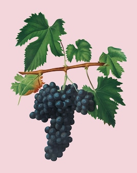 Raisins lacrima de pomona italiana illustration