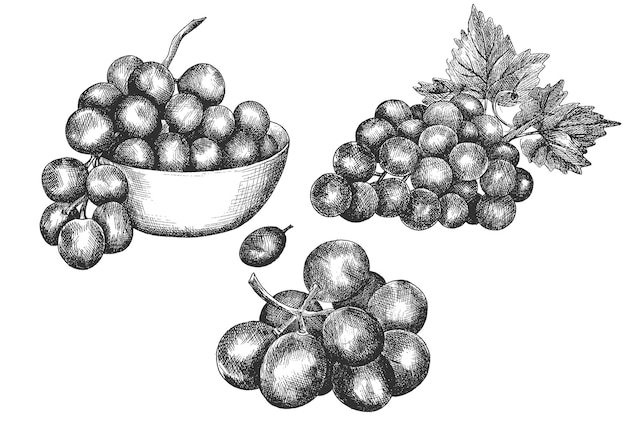 Raisins, main, dessin, croquis, vecteur, illustration