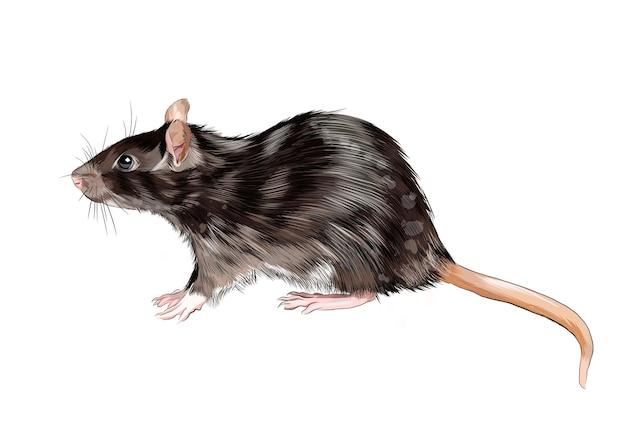 Rat, souris d'une éclaboussure d'aquarelle, dessin coloré.