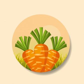 Récolte de carottes de légumes