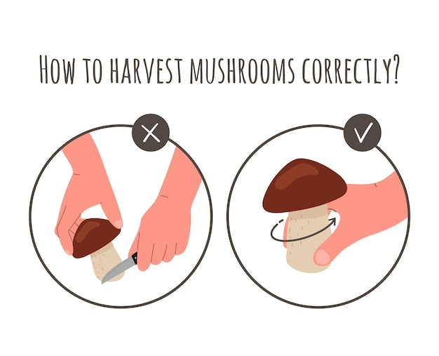 Récolte de champignons, cueillette. cueillette de champignons, méthode de coupe des champignons par la racine avec un couteau ou des torsions du sol. récolte, cueillette de champignons en automne. illustration vectorielle à plat.
