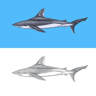 Requin renard et requin taureau de l'atlantique ou maquereau maraîche prédateur animal marin vie marine main