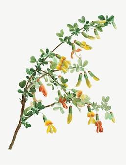 Robinia chamlagu en fleurs