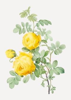 Rosa hemisphaerica, également connue sous le nom de rose jaune du soufre (rosa sulfurea) tirée de les roses (1817-1824)