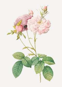Rose damassé rose