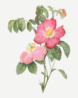 Rose française rose