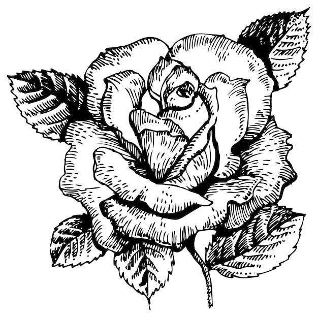 Rose. illustration dessinée à la main