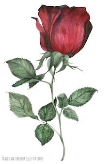 Rose de jardin rouge fumée