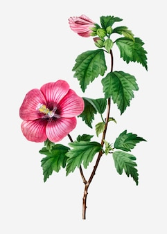 Rose de sharon