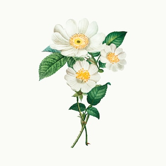 Roses macartney