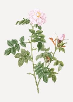 Rosier rose en fleurs