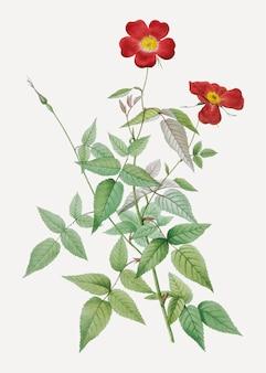 Rosier rouge en fleurs