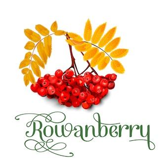 Rowanberry, les feuilles et les baies isolées sur fond blanc.