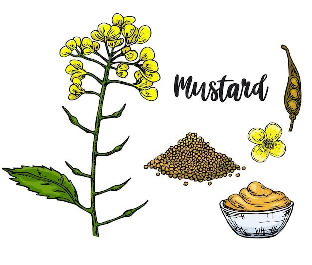 Sauce moutarde dans un bol. ingrédient alimentaire dessiné à la main. branche de fleur botanique et tas de graines, assaisonnement dans une bouteille.