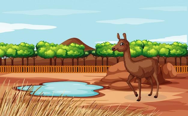 Scène d'alpaga au zoo