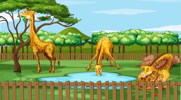Scène avec des girafes au zoo