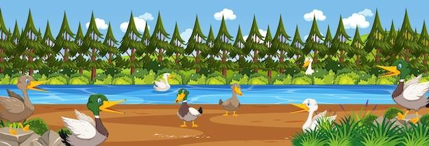 Scène de paysage panoramique avec de nombreux canards dans la forêt