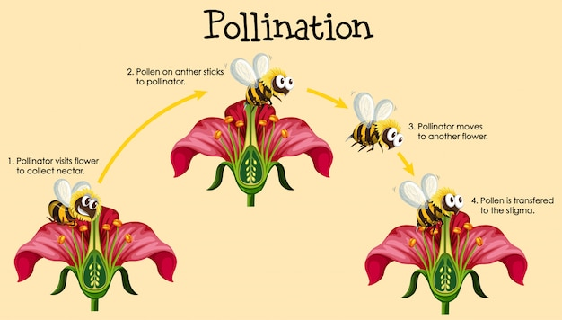 Schéma montrant la pollinisation par les abeilles et les fleurs