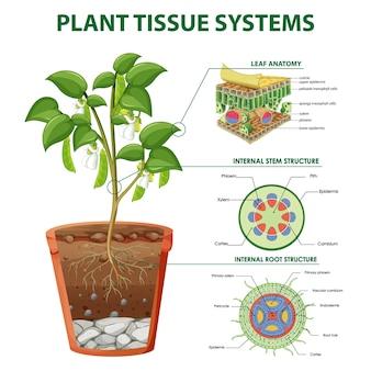 Schéma montrant les systèmes de tissus végétaux