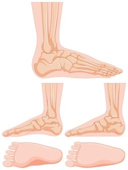 Schéma de l'os du pied humain
