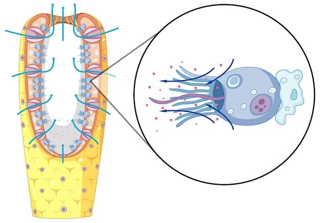 Schéma de la structure des éponges pour l'enseignement de la biologie
