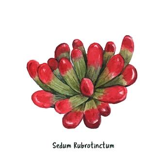 Sedum rubrotinctum succulente dessinés à la main