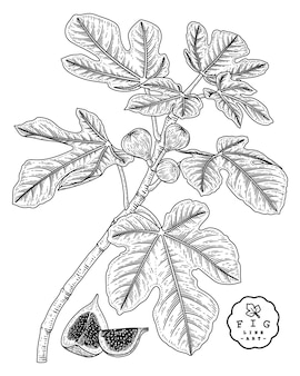 Set décoratif vector sketch fruit.