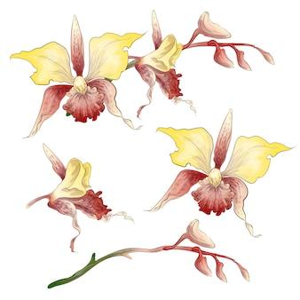 Set d'orchidée phalaenopsis