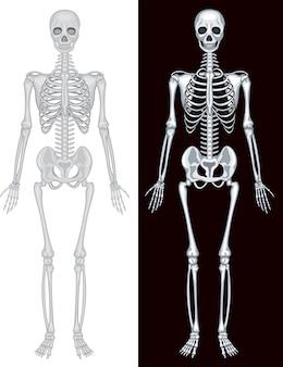 Squelette humain en fond blanc et noir