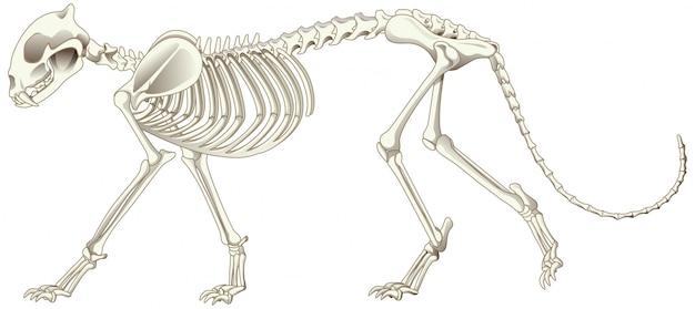 Squelette léopard sur fond blanc