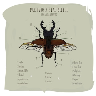 Stag beetle, main dessiner des croquis vectoriels.