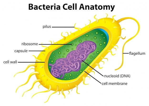 Structure cellulaire de la bactérie