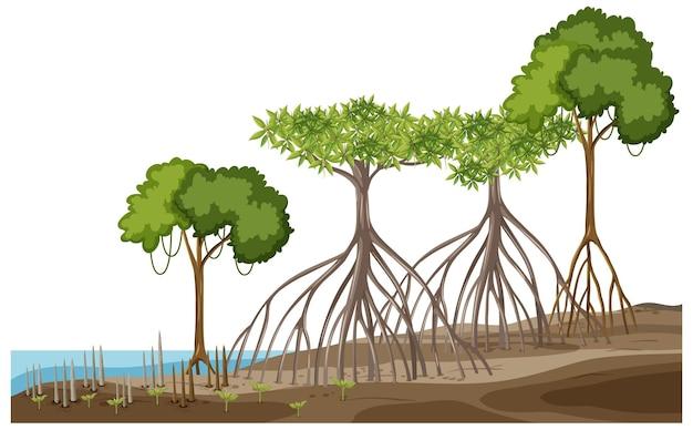 Structure de la forêt de mangrove sur blanc