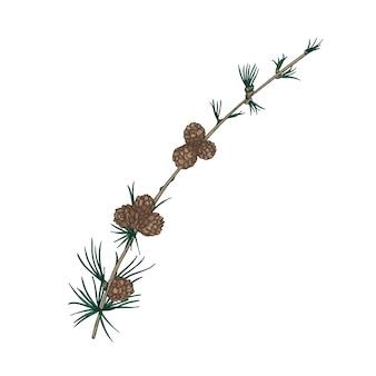 Superbe dessin naturel de branche de mélèze avec feuillage en forme d'aiguille et cônes.