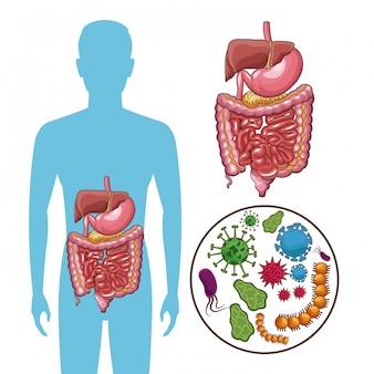 Système digestif avec des bactéries