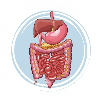 Système digestif organes humains