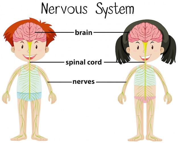 Système nerveux de garçon et de fille
